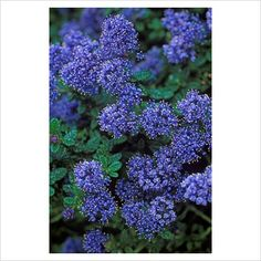 Ceanothus 'Dark Star' - Californian Lilac. I will have a couple of these...one day