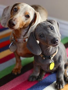 {Slinky and Herbie} those faces! ♥ omg that is a blu doxie i am really thkg i just have to have one after all my blk ones ..... i love that pup!!!! dont u !!!