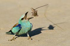 World Press Photo 2017 kiállítás a Néprajzi Múzeumban Aerial Acrobatics, Bee Eater, World Press, Game Reserve, 2017 Photos, Press Photo, Colorful Birds, Kingfisher, Old World