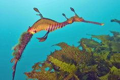 A marine fish of the family Syngnathidae, related to the seahorse. It is endemic to Australian waters of the Eastern Indian Ocean and the South Western Pacific Ocean. Fish Drawings, Animal Drawings, Pictures Of Sea Creatures, Seahorse Drawing, Weedy Sea Dragon, Oarfish, Hawaii Pictures, Beautiful Sea Creatures, Beneath The Sea