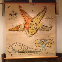 PFURTSCHELLER SCIENTIFIC ZOOLOGICAL SCHOOL/ WALL CHART ASTROPECTEN AURANTIACUS!