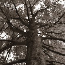 Valokuvatapetti - Tall Oak - Sepia