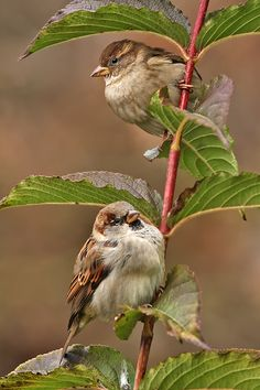 Little birds ; I know these are sparrows, but they're just so pretty, I had to stick them somewhere and I didn't feel like creating still another board. Cute Birds, Pretty Birds, Small Birds, Little Birds, Colorful Birds, Beautiful Birds, Animals Beautiful, Cute Animals, Kinds Of Birds