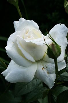 """~White Rose """"Karen Blixen"""""""