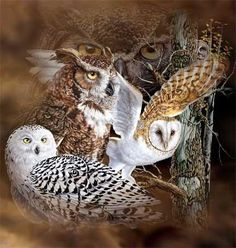 Owls Owls Owls  If you love Owls check out   Falconry uk   on FB, that must be the best collection of pictures