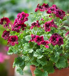 Buy Pelargonium 'Regalia Chocolate' from Sarah Raven: An exceptional upright variety producing masses of dark, chocolatey purple, semi-double flowers. Container Flowers, Container Plants, Container Gardening, Home Flowers, Flowers Garden, Wild Flowers, Small Yard Landscaping, Plant Delivery, Liquid Fertilizer
