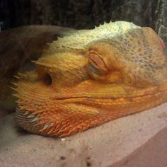 Why is your Bearded dragon sleeping? It is characterised by a type of slumber or inactivity, where they are a sleep most of the time. This behaviour is also characterised by loss of appetite, hiding behaviour and sometimes excessive digging behavior. http://www.beardeddragons.co.za/bearded-dragon-brumation/