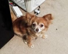 Meet Emma,Dog • Chihuahua • Senior • Female • Small Animal Alliance Lambertville  a Petfinder adoptable Chihuahua Dog | Lambertville, NJ | Note, Emma and Pumpkin must be adopted toguether