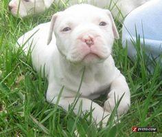 white pitbulls puppies