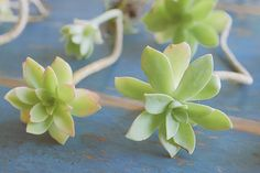 bouturer des succulentes — planB par Morganours