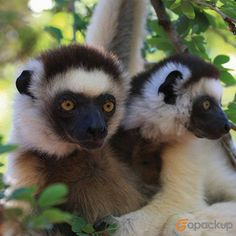 A fan of wildlife? Then get yourself ready to go to Madagascar where the #wildlife thrives!  #madagascar #tananarive #mauritius #andasibe #nationalpark #portlouis #andasibe #antananarivo #golocal #localtours #localguide #localtravel #supportlocal #buylocal #localsonly #lifestyle #tourswithlocals #travelwithlocals #family #travel #instatravel #travelgram #passportready #wanderlust #ilovetravel #backpacking #explore #journey #gopackup