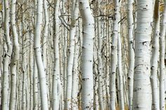 Aspen Forest - Wall Murals & Wallpapers - Photowall