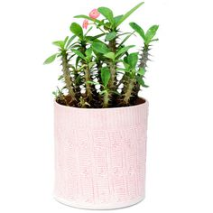 Cable Knit Planter (2.030 RUB) ❤ liked on Polyvore featuring fillers, plants, fillers - plants, flowers and fillers - pink