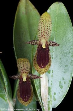 Pleurothallis punctulata - Native of Colombia and Venezuela - © Eric Hunt, All Rights Reserved