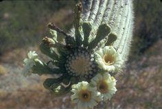 Saguaro-Saguaro National Park (2)