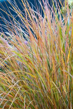 Joe Swift (Gardeners World) recommends Ornamental Grass Anemanthele lessoniana aka Stipa arundinacea. A useful grass for tricky spots, such as under trees. The fountain-like clumps of evergreen foliage turns orange-brown in late winter. Garden Shrubs, Landscaping Plants, Garden Plants, Gravel Garden, Landscape Design, Garden Design, Planting Plan, Family Garden, Gardens