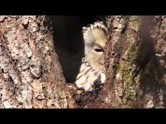 Ural owl and nest (video)