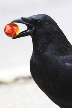 """Mystical 8-Year-Old Is Worshipped by Wild Crows -- One time it was a tiny piece of metal with the word """"best"""" printed on it. """"I don't know if they still have the part that says 'friend',"""" Gabi laughs, amused by the thought of a crow wearing a matching necklace."""