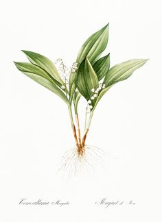 Lily of the valley Botanical Art Prints Flower Prints Hd Vintage, Vintage Stuff, Fire Lily, Floral Rosa, Valley Flowers, Leaf Drawing, Floral Wall Art, Inspirational Wall Art, Free Illustrations