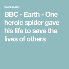 BBC - Earth - One heroic spider gave his life to save the lives of others