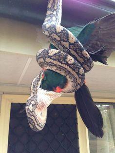 …королевским попугаем. Эти ужасающие фотографии поедания ковровым питоном королевского попугая были сняты в городе Квинсленд, Австралия.  |  #австралия  #питон  #попугай  #происшествие