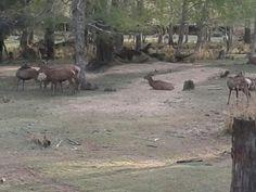 Ciervos huilohuilo