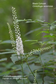 Bugbane: Black Cohosh, Black Bugbane, Black Baneberry, Black Snakeroot, Fairy Candle- Georgia native