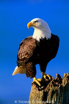 pictures of eagles to print | The Lookout - Bald Eagle - Print 2525 | MANGELSEN - Images Of Nature ...