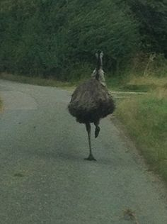 Road-runner: An emu was spotted running around Suffolk roads after making a dramatic bid for freedom on Wednesday Road Runner, Emu, Zoo Animals, Beautiful Birds, Daily Mail, Roads, Countryside, Anatomy, Wednesday
