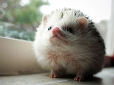 {Loki the Hedgehog} oh, how I want! cutest critter. :)