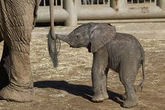 Baby elephant at San Diego Safari Park. So cute! Elephants Photos, Elephant Pictures, Animal Pictures, All About Elephants, Save The Elephants, Cute Baby Animals, Animals And Pets, Funny Animals, Wild Animals
