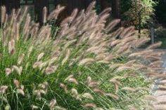 Er zijn honderden siergrassen in allerlei soorten en maten. Omdat het er zoveel zijn, kun je ze verschillend toepassen in de tuin. Ze zijn geschikt als afscheiding, opvulling in een gemengde border en als decoratie in grote potten.