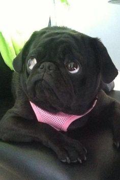Black pug …