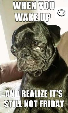 Funny angry pug dog wants it to be Friday. - Funny Dog Quotes - Funny angry pug dog wants it to be Friday. The post Funny angry pug dog wants it to be Friday. appeared first on Gag Dad. Pug Quotes, Dog Quotes Funny, Funny Dogs, Animal Quotes, Funny Memes, Funny Animal Jokes, Cute Funny Animals, Cute Baby Animals, Animals Dog