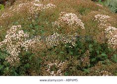 Eupatorium Ligustrinum Syn E Micranthum Stock Photo, Picture And . Wall Borders, Stock Photos, Illustration, Garden, Flowers, Plants, Pictures, Image, Photos