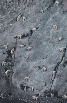Goats!!!! on the rock wall