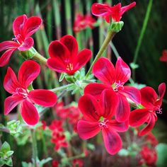 There is #nofilter on these #Pelargonium #Ardens #spectacular #colour @flowers #nature2000 @ettingerlondon #MyColourOfSummer