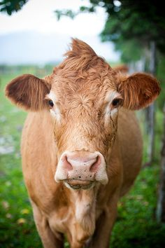 ...no really, I like cows... even though they have a disgusting bad breath...