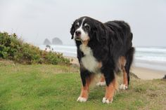 """Happy Birthday to """"Rosie"""", who is 15!  Considering our breed is known for short life-spans (7-9 years), she gives us hope that through good genetics and careful breeding, maybe we can have our sweet berners around longer in the future!"""