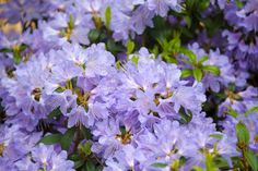 If we have felt out of place, vulnerable or unprotected, rhododendron flower elixir brings in a stable, enduring love.