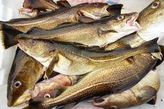 Photo about Fishing in Norway. Fresh Cod Fish in boat Container. Image of torsk, freshness, eating - 31125883 Animals Name In English, Pacific Cod, Atlantic Cod, Fish Chart, Oscar Fish, Spanish Mackerel, Aglio Olio, Fish Pie, Toxic Foods