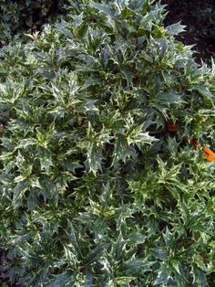 Osmanthus heterophyllus (Holly Olive, Holly Leaf Osmanthus, False Holly)