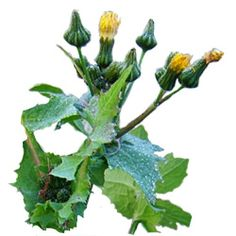Great article on how forage Sow thistle