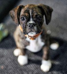 Buddy the Mixed Breed - King Charles Spaniel & Boston Terrier Mix. Looks like a mini-boxer!
