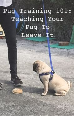 Pug Training 101: Teaching Your Pug to Leave It http://www.thepugdiary.com/pug-training-101-teaching-your-pug-to-leave-it/
