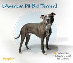 "Despite what some consider an intimidating appearance, the American Pit Bull Terrier is loyal and eager to please, making him a wonderful family dog. In fact, his affection for children once earned him the nickname ""nanny dog"" in the early 20th century. Noted as an ineffective guard dog due to his friendly nature, a well-socialized APBT can do well in homes with other pets. A natural athlete, his intelligence and endurance help him excel in a variety of sports."
