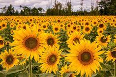 Prayers For Maria Sunflowers