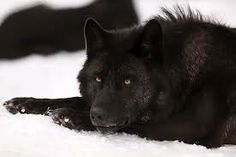Black wolf and snow