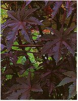 Castor Bean Plant (Dark Red) (Ricinus communis) an annual with large purple leaves. This beauty quickly sprouts into a tall plant up to 5 ft. high with huge, exotic looking leaves which are often almost 3ft across.