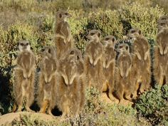 One of the best places to see meerkats in the wild; Meerkat Adventures in Oudtshoorn. You get up before dawn, Devey pours you strong coffee and you sit and wait until the sun, and then the meerkats rise. You are so close and yet they practically ignore you. Unforgettable. Discovered by Helen Tapping at Meerkat Adventures, Oudtshoorn, South Africa